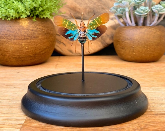 Saiva Transversolineata in bell jar, Butterfly Box Frame taxidermy entomology nature, beauty insect taxidermy photography
