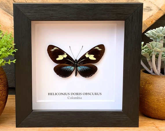 Heliconius Doris Obscurus Butterfly in frame , Taxidermy,art,birthday gift,Gift for friend, entomology