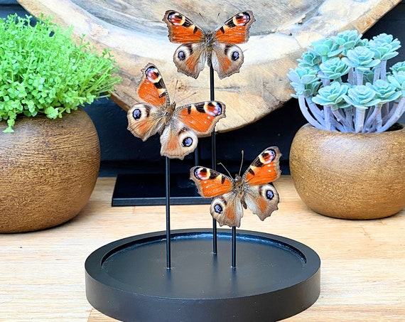 3x Inachis Io in bell jar, Butterfly Box Frame taxidermy entomology nature, beauty insect taxidermy photography
