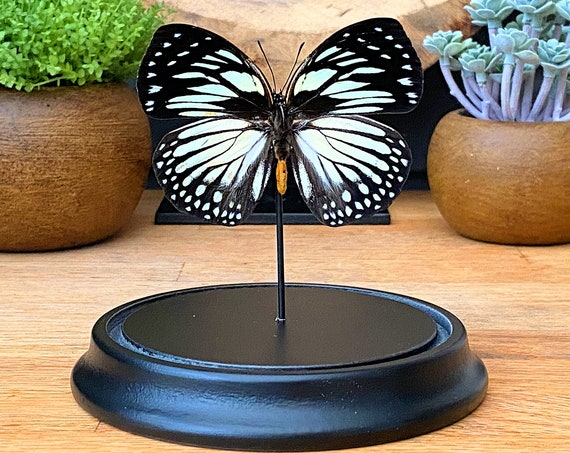 Euxanthe Crossleyi butterfly in bell jar, Butterfly Box Frame taxidermy entomology nature, beauty insect taxidermy photography