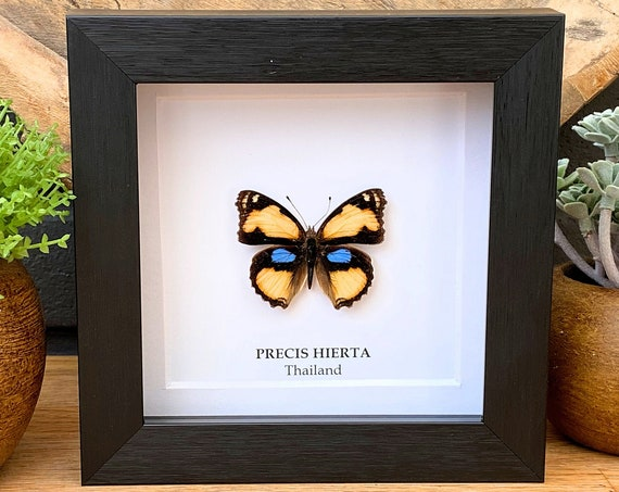 Precis Hierta Butterfly in frame , Taxidermy,art,birthday gift,Gift for friend, entomology