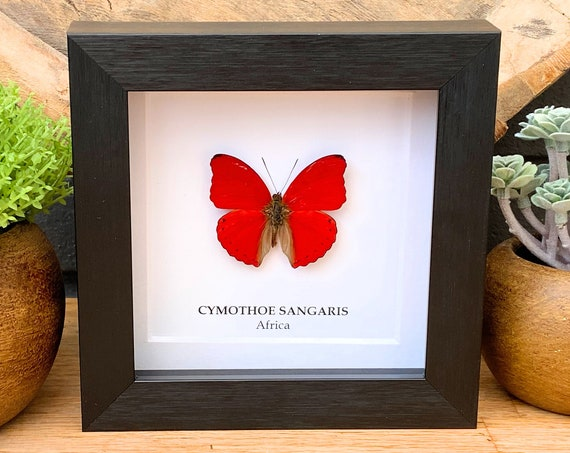 Cymothoe Sangaris framed, insect Butterfly Box Frame taxidermy entomology nature, beauty insect taxidermy photography