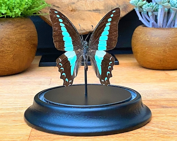 Bell Jar with a Graphium Sarpedon, taxidermy entomology nature, beauty insect taxidermy photography