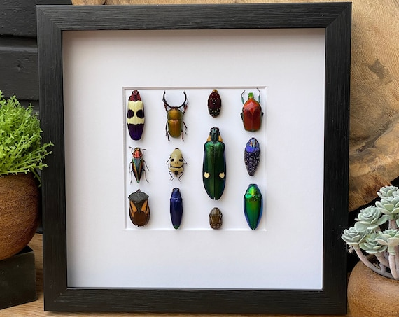 Nice Mix beetles framed, Box Frame taxidermy entomology nature, beauty insect taxidermy photography