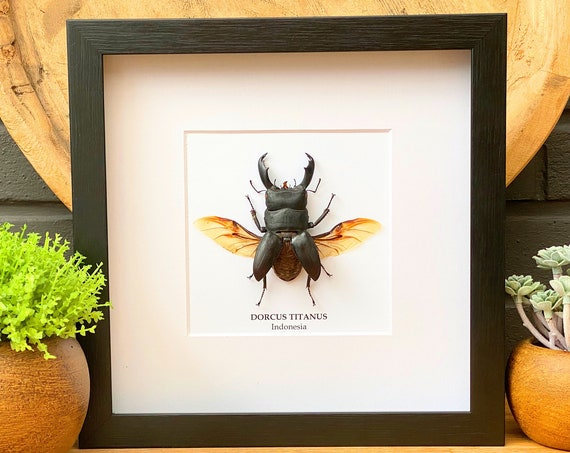 Dorcus Titanus framed, insect Butterfly Box Frame taxidermy entomology nature, beauty insect taxidermy photography