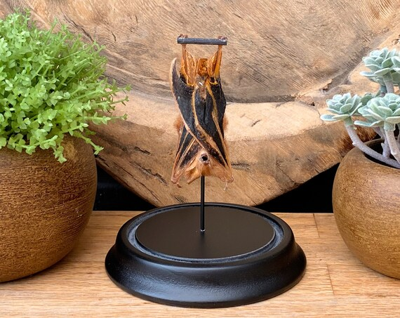 Kerivoula Picta bat in bell jar ,Taxidermy,art,birthday gift,Gift for friend, entomology