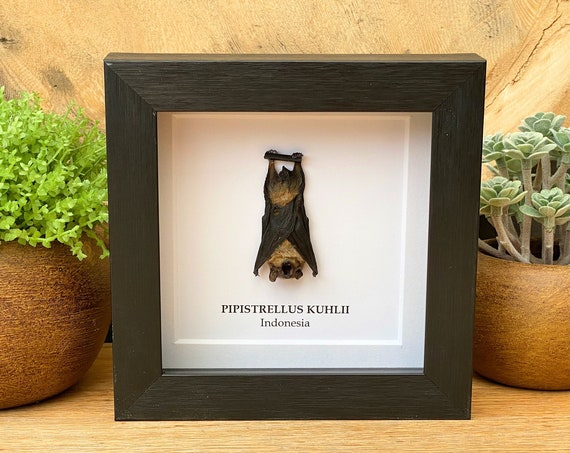 Pipistrelus Kuhlii bat framed , insect Butterfly Box Frame taxidermy entomology nature, beauty insect taxidermy photography