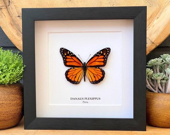 Danaus Plexippus in frame, handmade,Entomology,taxidermie,Nature,Entomologie