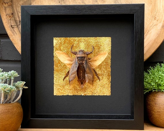 Golden Lethocerus Indicus in frame Taxidermy,art,birthday gift,Gift for friend, entomology