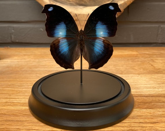 Napocles Jucunda butterfly in bell jar, Butterfly Box Frame taxidermy entomology nature, beauty insect taxidermy photography