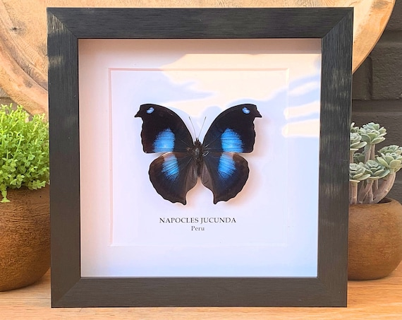 NAPOCLES JUCUNDA insect Butterfly Box Frame taxidermy entomology nature, beauty insect taxidermy photography
