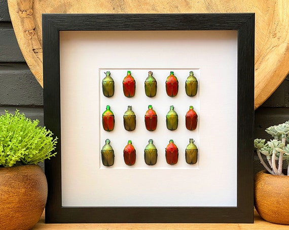 Torynorrhina flammea art, insect Butterfly Box Frame taxidermy entomology nature, beauty insect taxidermy photography