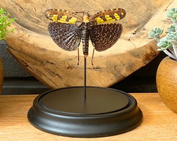 Sanaea Regalis in bell jar, Butterfly Box Frame taxidermy entomology nature, beauty insect taxidermy photography