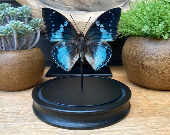 Charaxes Smaragdalis Butterfly bell jar, Butterfly Box Frame taxidermy entomology nature, beauty insect taxidermy photography