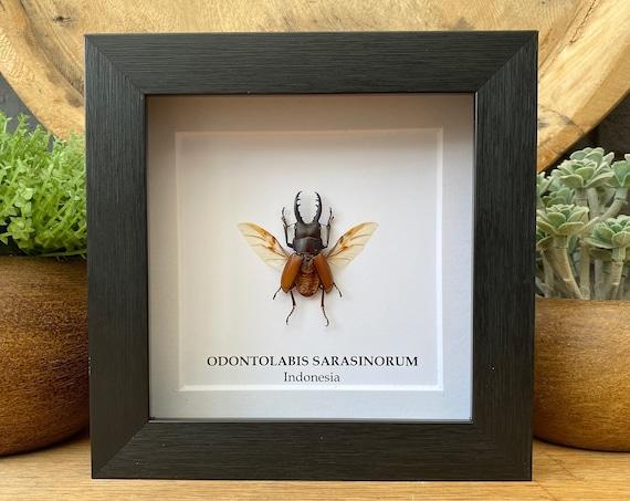 Framed Odontolabis Sarasinorum , Taxidermy,art,birthday gift,Gift for friend, entomology