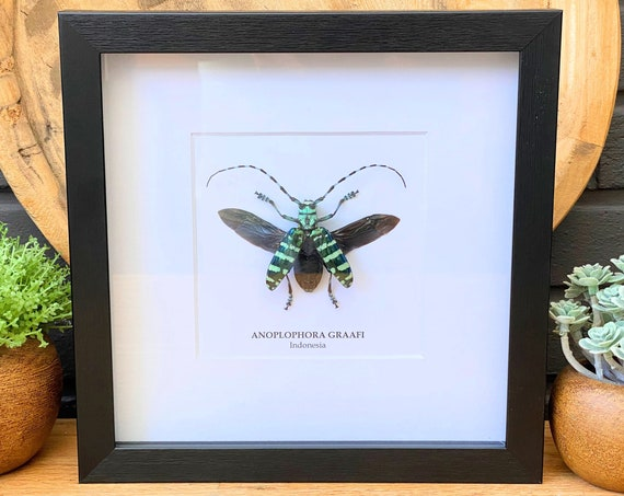 Framed Anoplophora Graafi, Taxidermy and Entomology homedecoration and wall art.