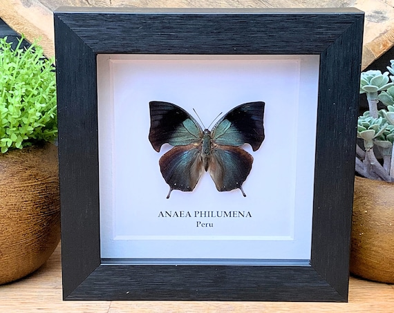 ANAEA PHILUMENA  insect Butterfly Box Frame taxidermy entomology nature, beauty insect taxidermy photography