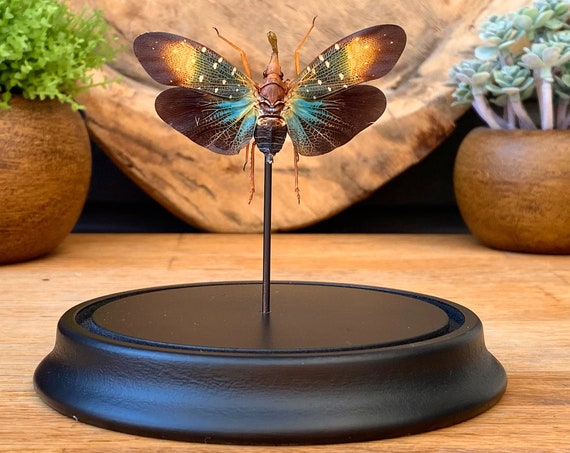 Pyrops Gunjii in bell jar, Butterfly Box Frame taxidermy entomology nature, beauty insect taxidermy photography