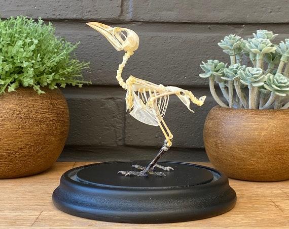 "Bell jar with Bird Skeleton ""Scooty-headed bulbul"",Taxidermy and Entomology homedecoration"