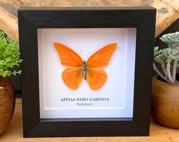 Appias Nero Zarinda Butterfly in frame , Taxidermy,art,birthday gift,Gift for friend, entomology