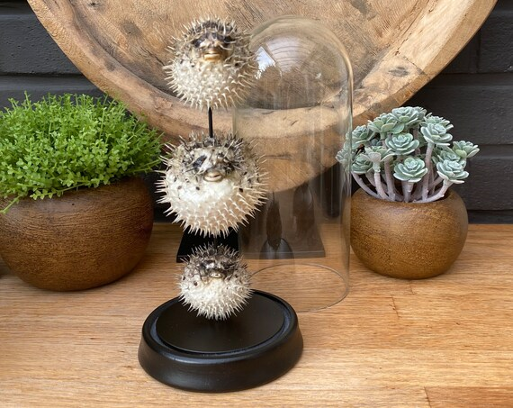 3x Small porcupine fishes in bell jar.Butterfly Butterfly Box Frame taxidermy entomology nature, beauty insect taxidermy photography