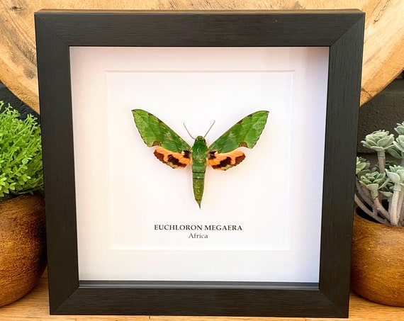 Framed Euchloron Megaera, Butterfly Box Frame taxidermy entomology nature, beauty insect taxidermy photography