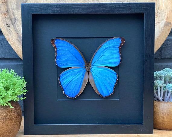 Morpho Didius Black framed Giant Blue Moprho, insect Butterfly Box Frame taxidermy entomology nature, beauty insect taxidermy photography