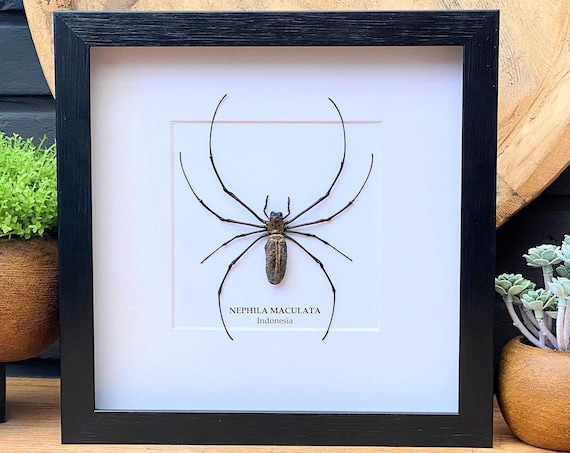 Nephila Maculata framed, insect Butterfly Box Frame taxidermy entomology nature, beauty insect taxidermy photography