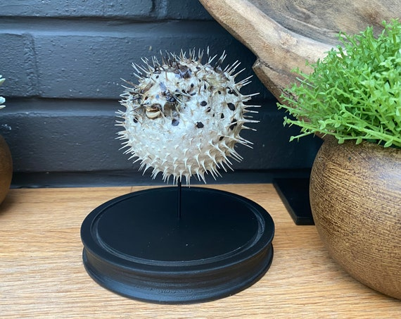 PORCUPINE FISH in bell jar, Butterfly Box Frame taxidermy entomology nature, beauty insect taxidermy photography