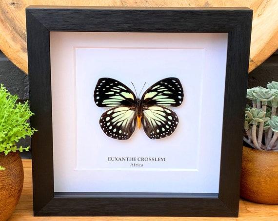 Euxanthe Crossleyi framed, Taxidermy,art,birthday gift,Gift for friend, entomology