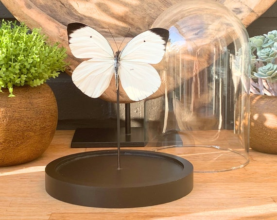 Ascia Bunaea butterfly in bell jar , handmade,Entomology,taxidermie,Nature,Entomologie