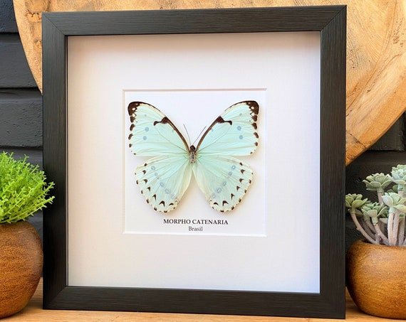 Morpho Catenaria butterfly frame, taxidermy, entomology, decoration