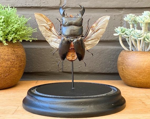 Bell jar with Dorcus Titanus ,Taxidermy and Entomology homedecoration