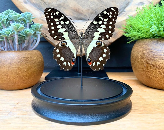 Papilio Demodocus butterfly in bell jar, Butterfly Box Frame taxidermy entomology nature, beauty insect taxidermy photography
