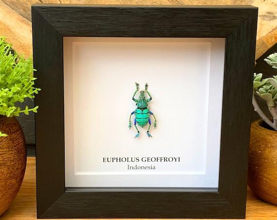 Eupholus Geeffroyi beetle in frame , Taxidermy,art,birthday gift,Gift for friend, entomology