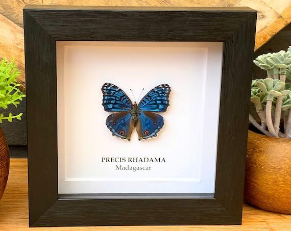 Precies Rhadama Butterfly in frame , Taxidermy,art,birthday gift,Gift for friend, entomology