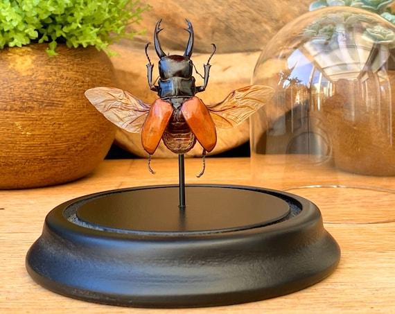 Odontolabis Sarasinorum in bell jar, Taxidermy,art,birthday gift,Gift for friend, entomology