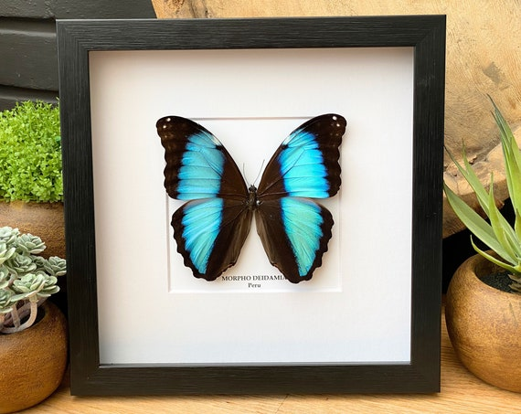 Morpho Deidamia butterfly framed ,Taxidermy,art,birthday gift,Gift for friend, entomology