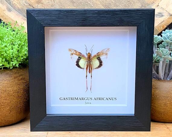 Framed Gastrimargus Africanus parvulus (Java) , Taxidermy,art,birthday gift,Gift for friend, entomology
