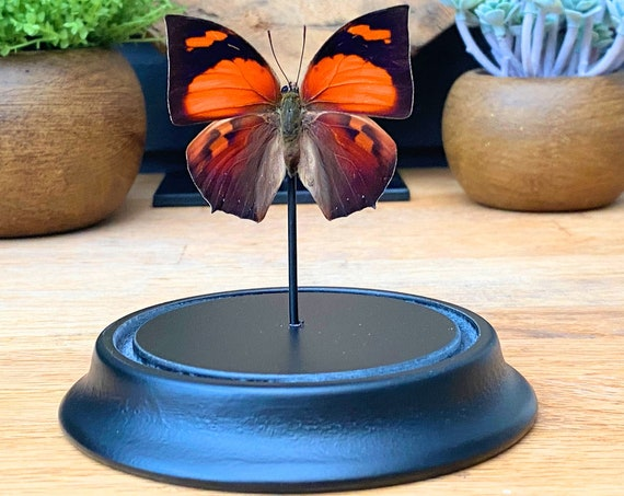 Bell Jar with a real Anaea Riphea butterfly, Taxidermy,art,birthday gift,Gift for friend, entomology