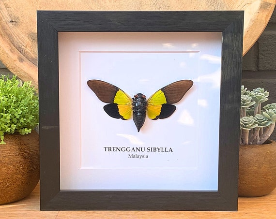 Trengganu Sibylla insect Framed Butterfly Box Frame taxidermy entomology nature, beauty insect taxidermy photography