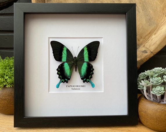 Papilio Blumei Butterfly framed, Taxidermy,art,birthday gift,Gift for friend, entomology