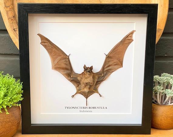 Tylonycteris Robustula bat in frame Taxidermy,art,birthday gift,Gift for friend, entomology