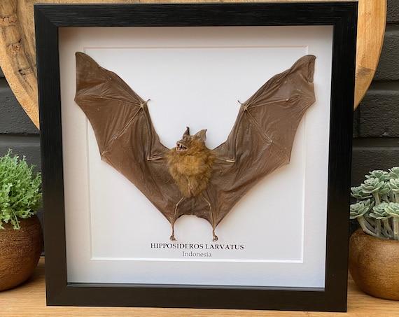 "Framed bat ""Hipposideros larvatus"",Taxidermy and Entomology homedecoration wall art"