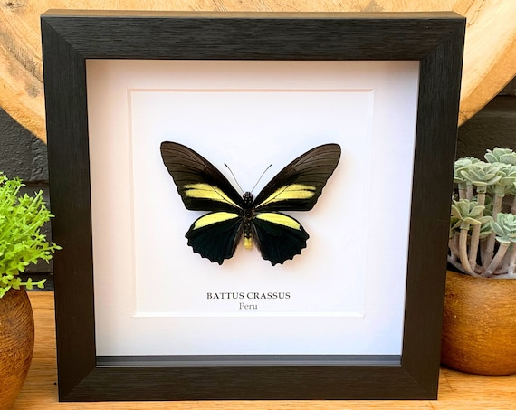 Battus Crassus framed, Taxidermy,art,birthday gift,Gift for friend, entomology