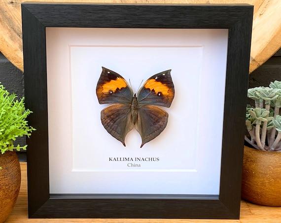 Kallima Inachus framed, Taxidermy,art,birthday gift,Gift for friend, entomology
