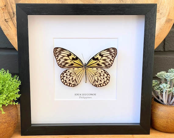 Idea Leuconoe Butterfly framed, Box Frame taxidermy entomology nature, beauty insect taxidermy photography