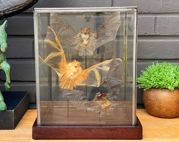 Glass display with bat collection, taxidermy, entomology, bats