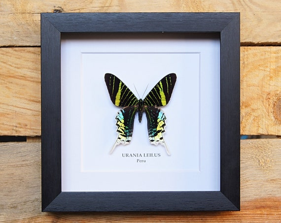 Urania Leilus framed, insect Butterfly Box Frame taxidermy entomology nature, beauty insect taxidermy photography