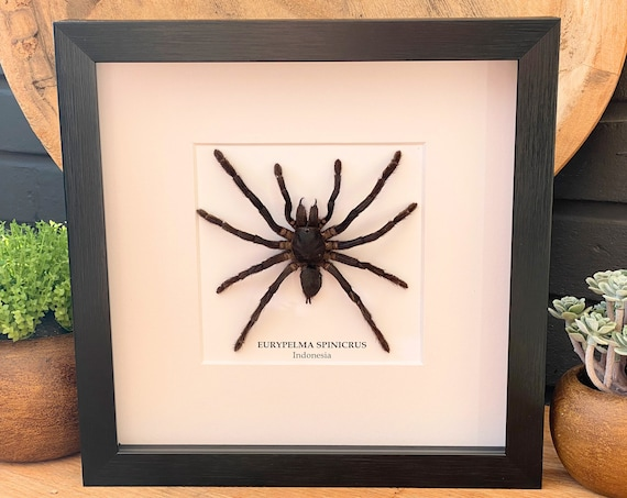 Eurypelma Spinicrus framed :, insect Butterfly Box Frame taxidermy entomology nature, beauty insect taxidermy photography
